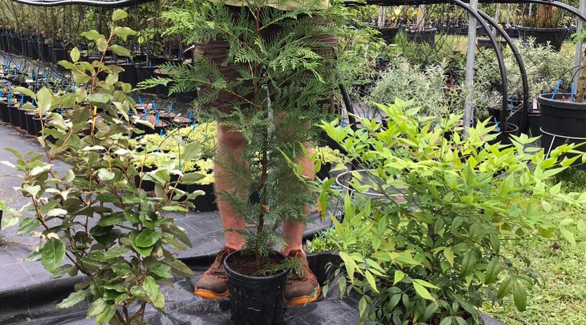 Piante Da Siepi Immagini promozione piante da siepe - verde commerce