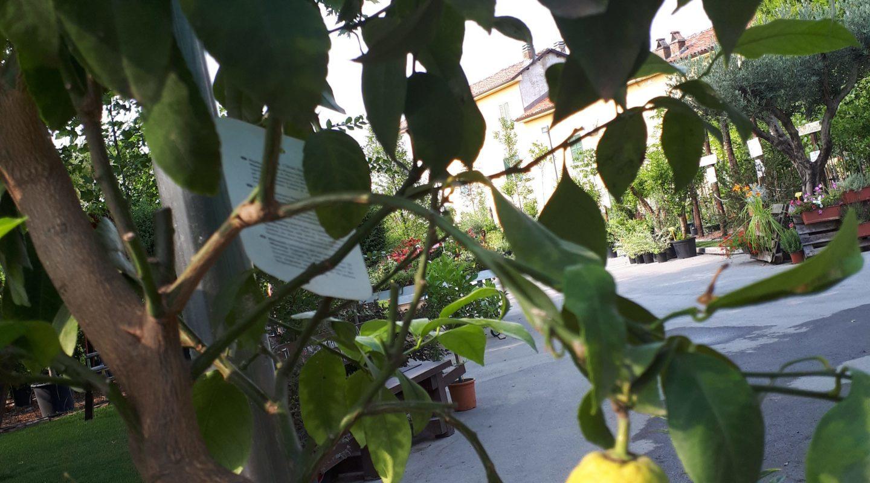 Piante Adatte Al Sole Diretto limoni in vaso: come piantarli, innaffiarli e proteggerli