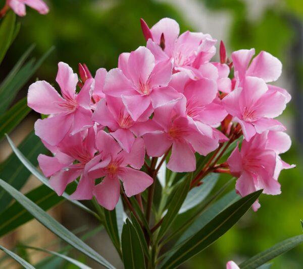 Oleandro piante tossiche e velenose per animali