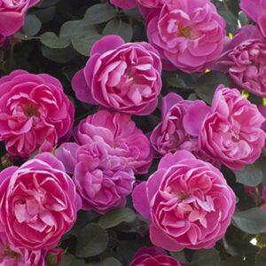 Rosa-Allegro