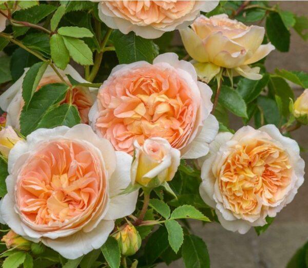 Rosa-Bathsheba-Aushimley