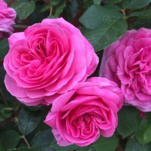 Rosa-Gertrude-Jekyll