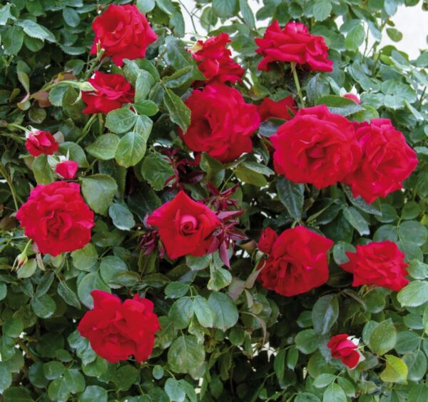 Rosa-Red-Flame