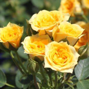 Rosa-Yellow-Clementine