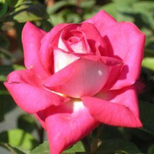 Rosa-Acapella