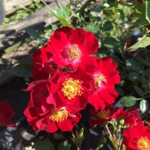 Rosa-Bassino