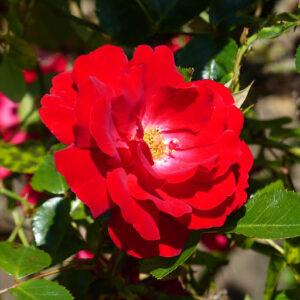 Rosa-Caramba