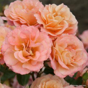 Rosa-Cubana