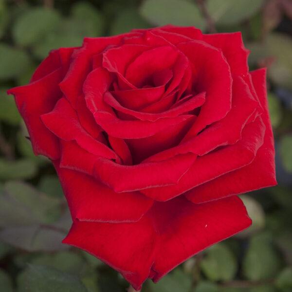 Rosa-Marcel-Pagnol