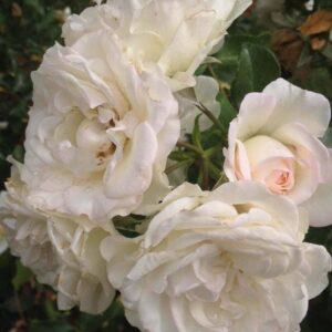 Rosa-White-Meidiland